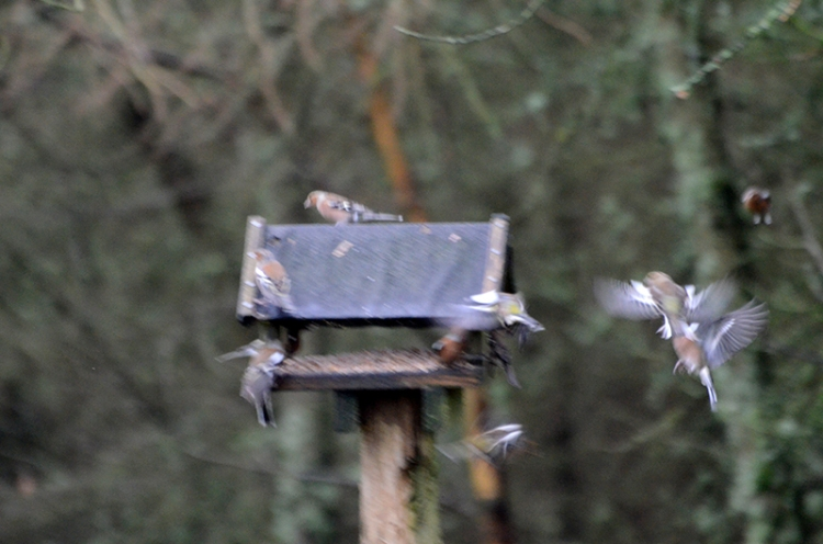 moorland chaffinches