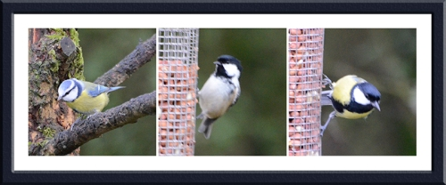 moorland feeder great tit, blue tit and coal tit