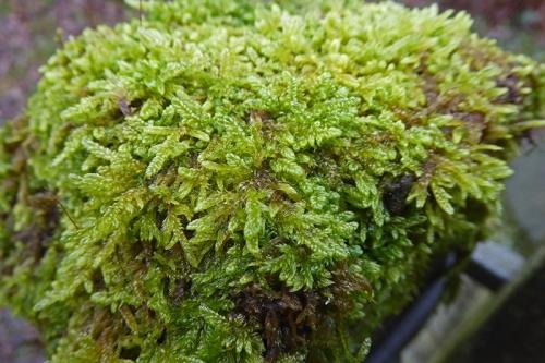 moss on gate close up