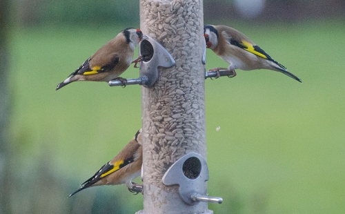 peaceful goldfinches