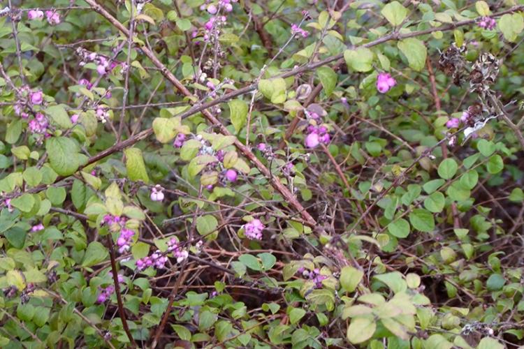 pernettya bush