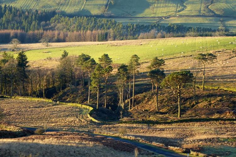 pines left at Hillhead