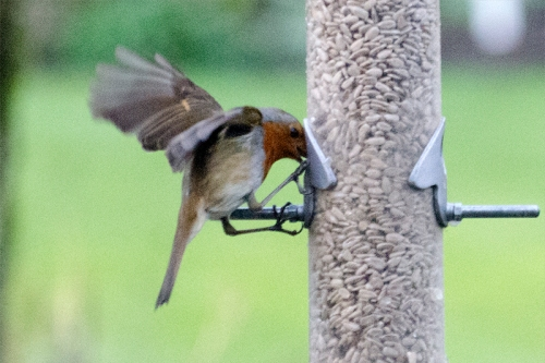 robin fleetingly on feeder