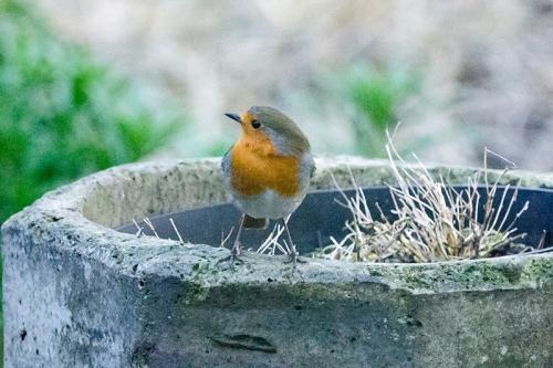 robin on chimney