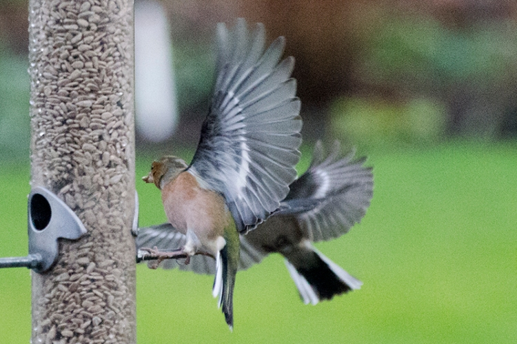 scrappy chaffinches