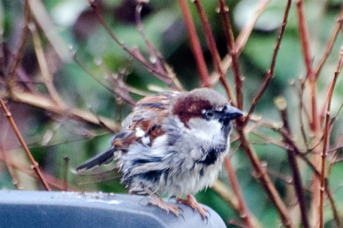 scruffy sparrow
