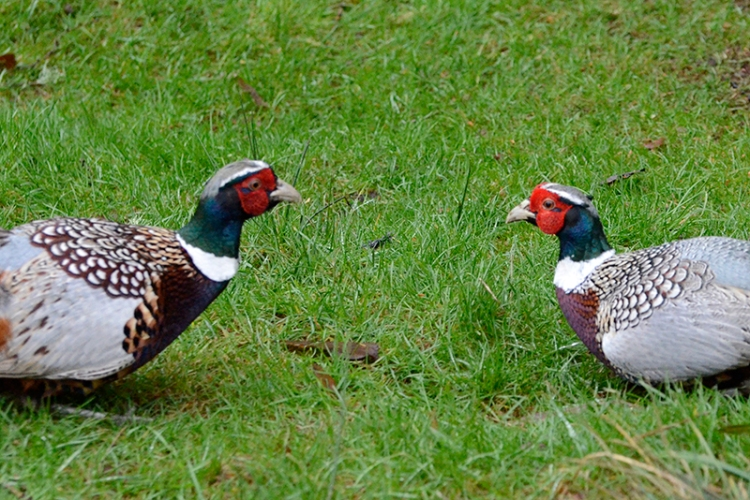 sparring pheasants