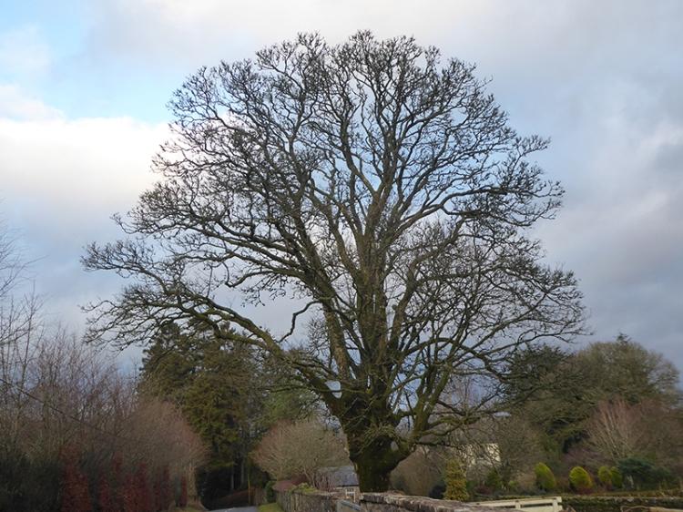 springhill tree