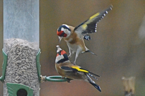 stamping goldfinch