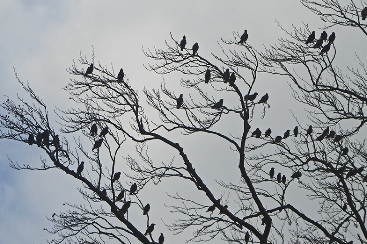starlings at West Craigs