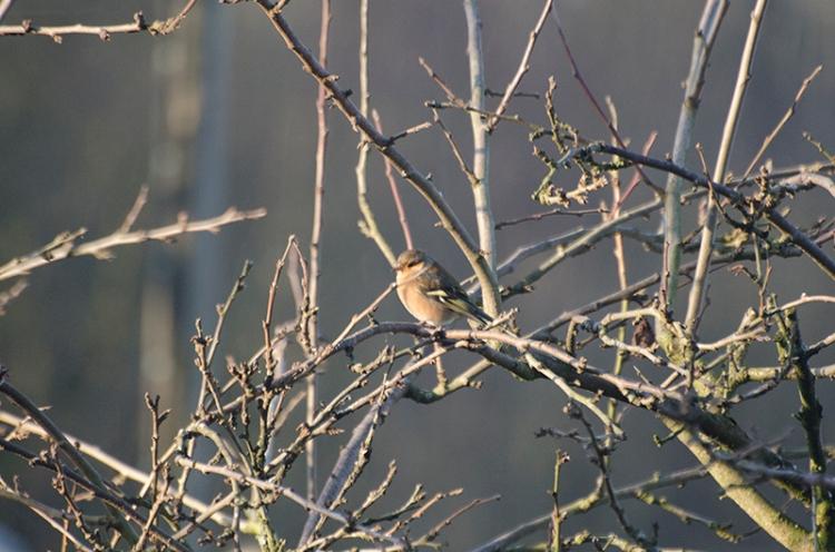 sunny chaffinch