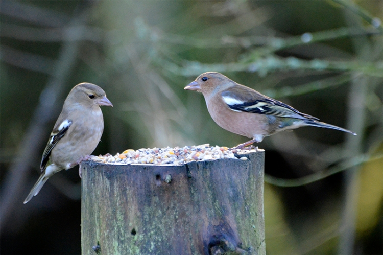 two chaffinches at laverock