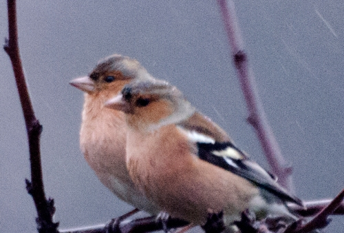 two chaffinches side by side