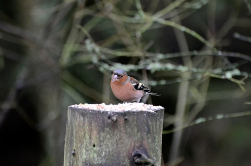 wary chaffinch