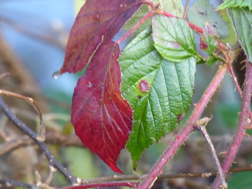 winter bramble leaf