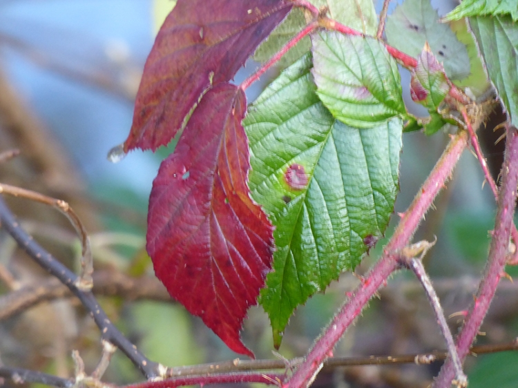 winter bramble leaf
