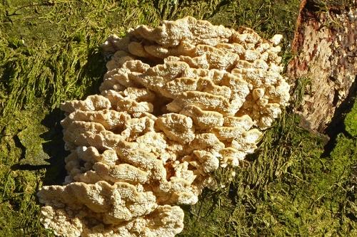 Meikleholm track fungus