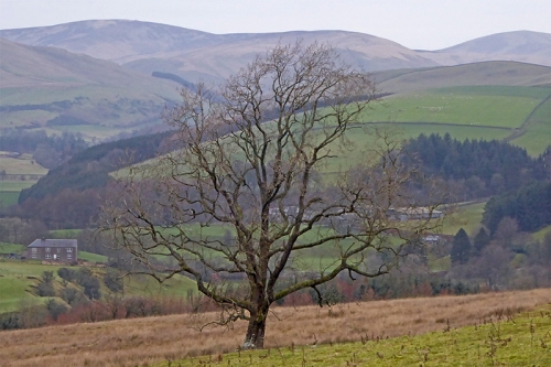 bare tree above whitshiels