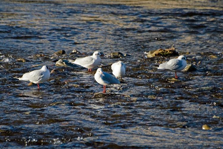 bathing gulls