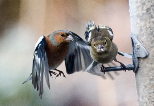 battling chaffinches