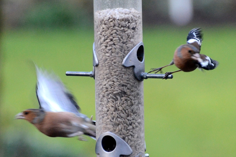blurred flying chaffinches