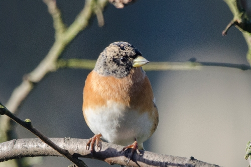 brambling in sun