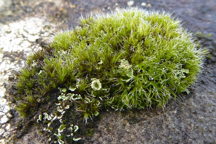 button moss and cup lichen