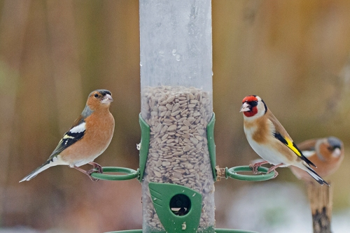 chaffinch and goldfinch bright snowy