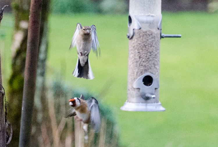 chaffinch and goldfinch hovering
