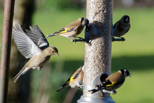 chaffinch approaching goldfinches