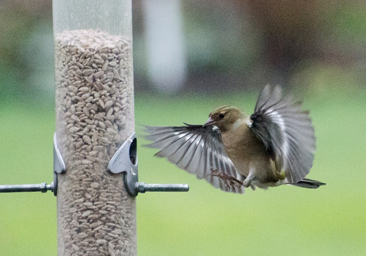 chaffinch arriving at feeder