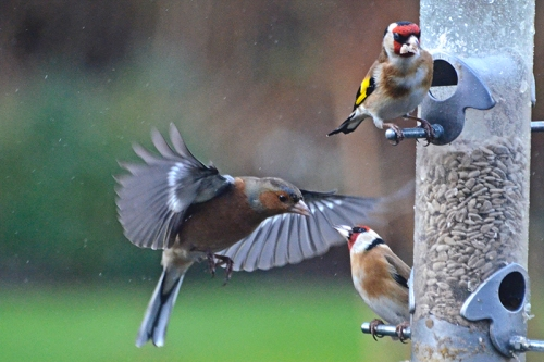 chaffinch goldfinch barney