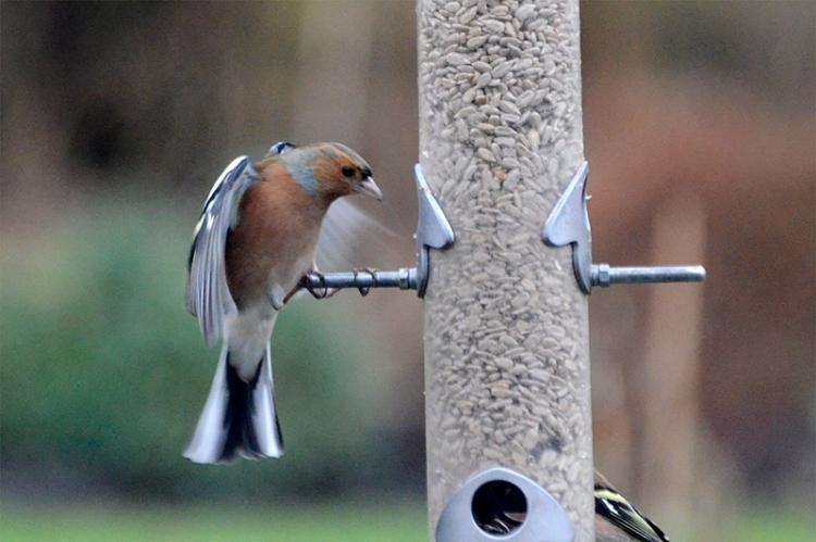chaffinch hitting perch