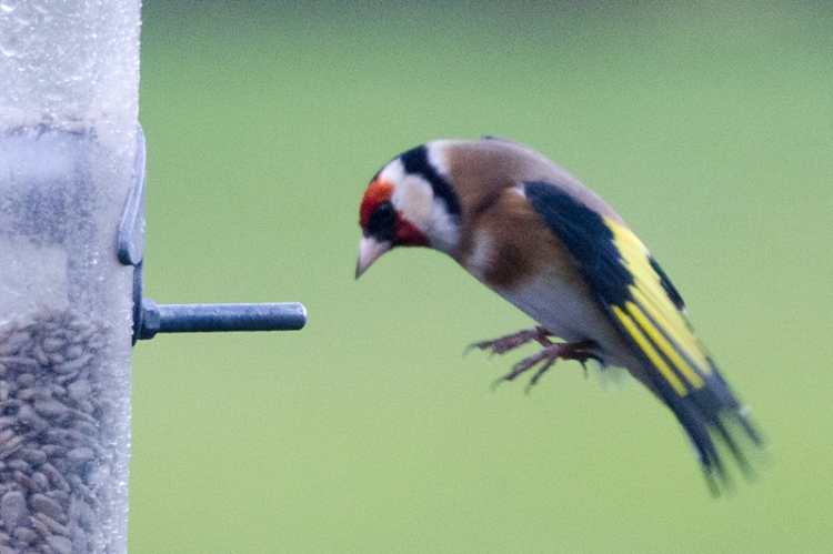 concentrating flying goldfinch