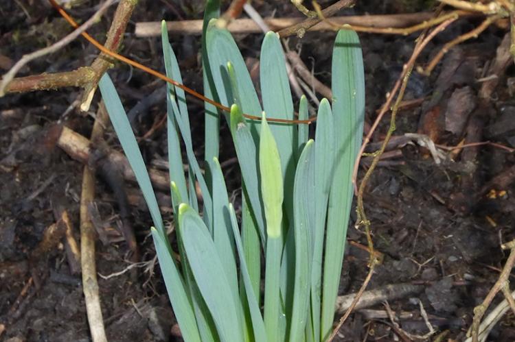 daffodil showing