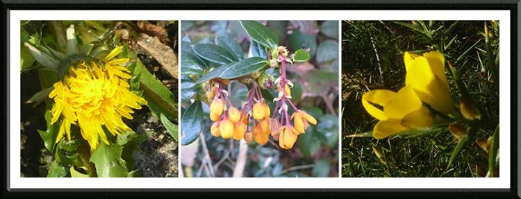dandelion, shrub and gorse january