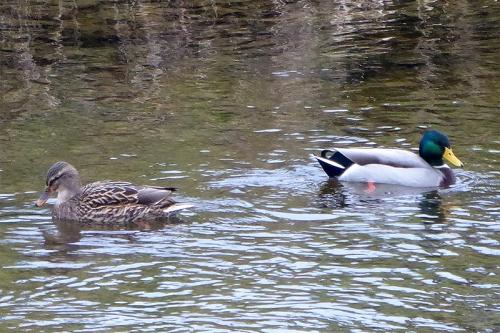 ducks diverging