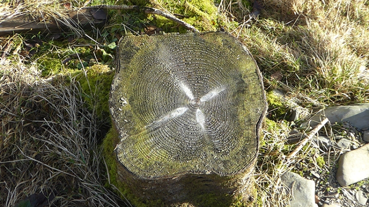 felled tree stump