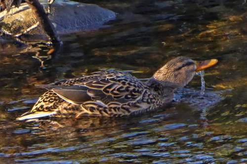 female mallard drinking