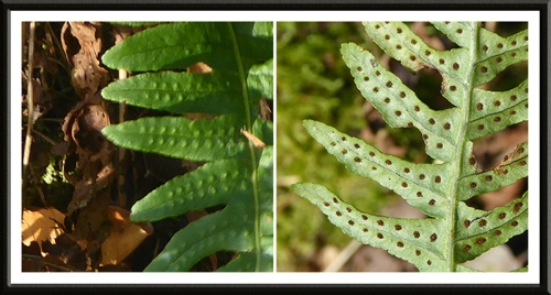 fern front and back