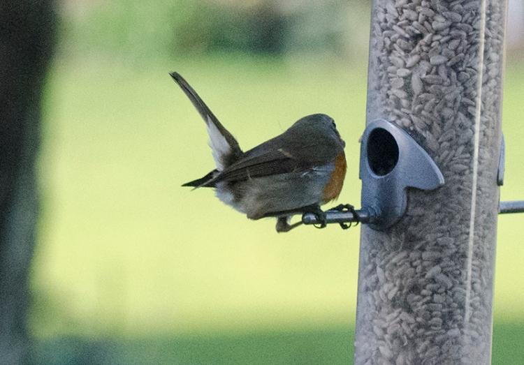 fleeting robin