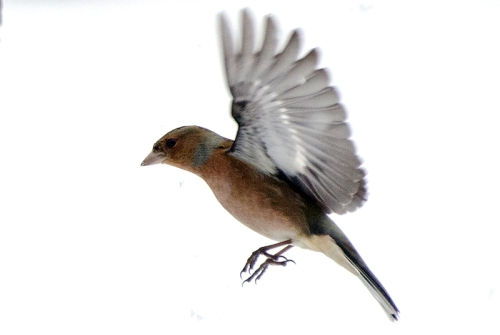 flying chaffinch snow