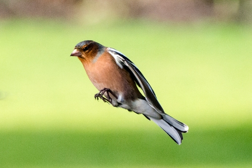 flying chaffinch wings closed