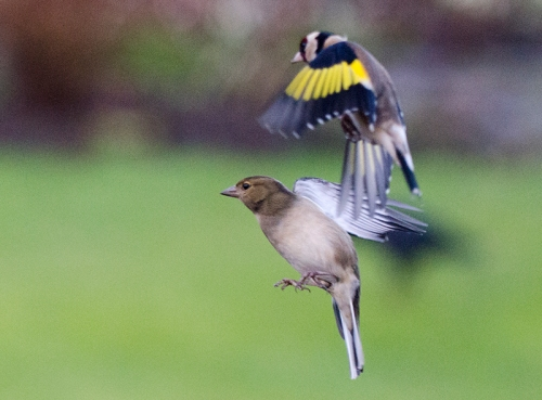 flying goldfinch and flying chaffinch