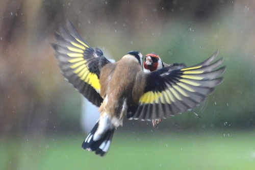 flying goldfinch goldfich barney