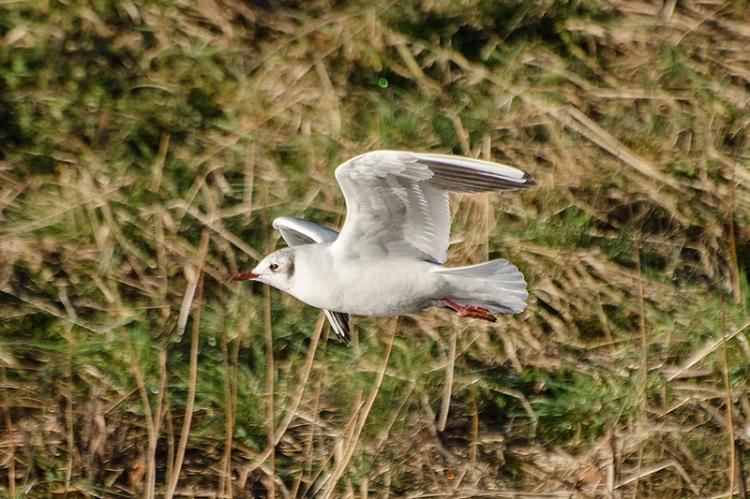 flying gull 1