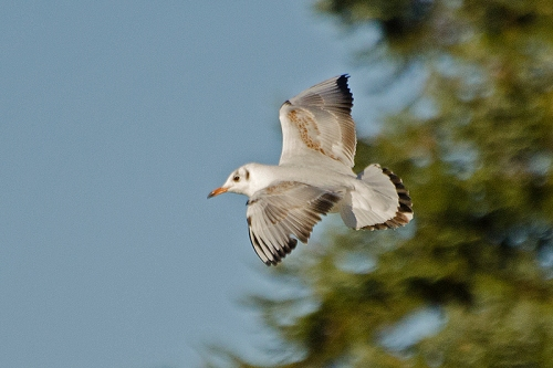 flying gull 2