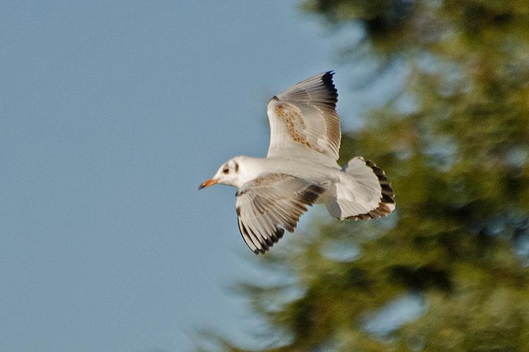 flying gull 2