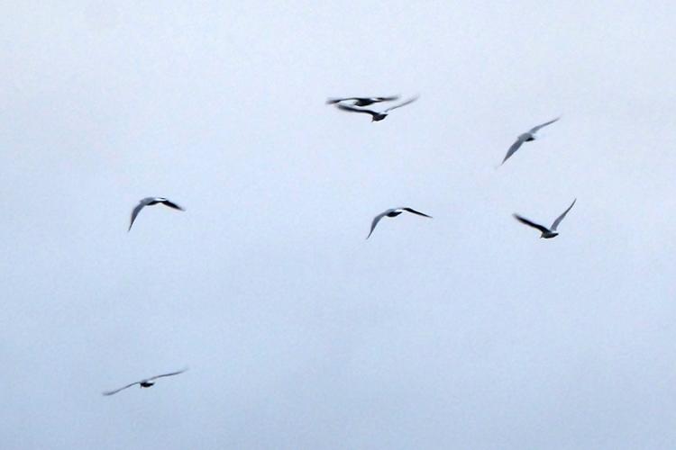 flying gull flock