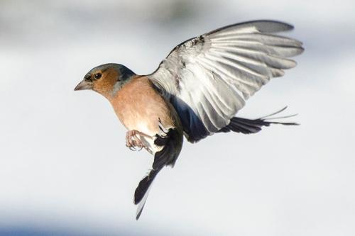flyingchaffinchsnow